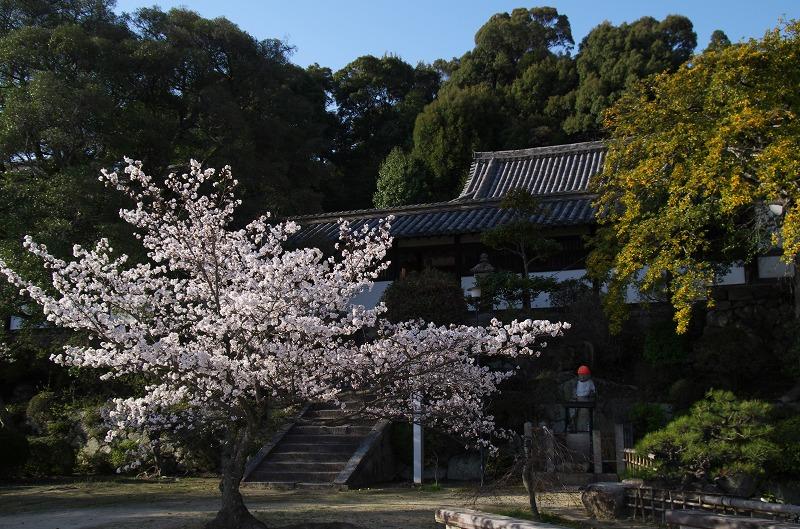 叡福寺・聖徳太子御廟の桜