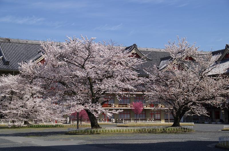 天理教教会本部 枝垂れ桜