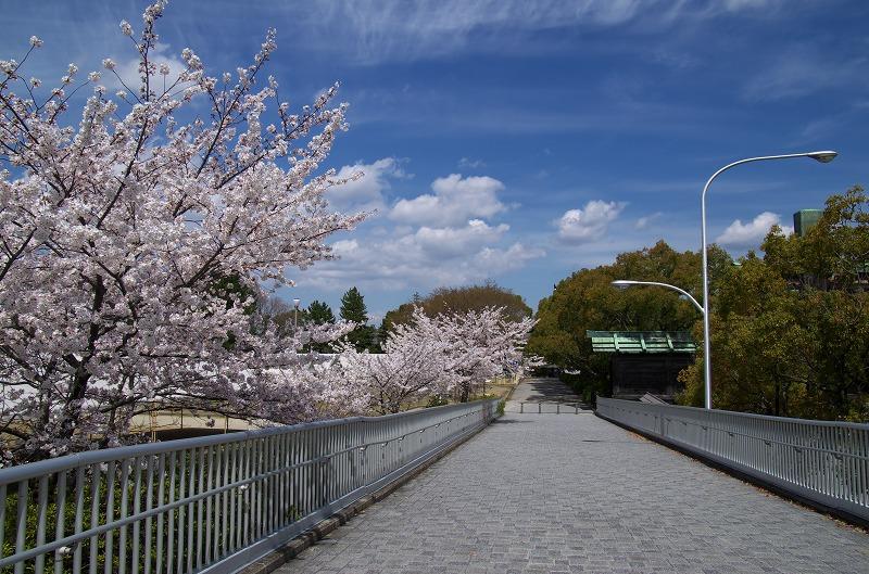 天理教 歩道橋 布留川の桜