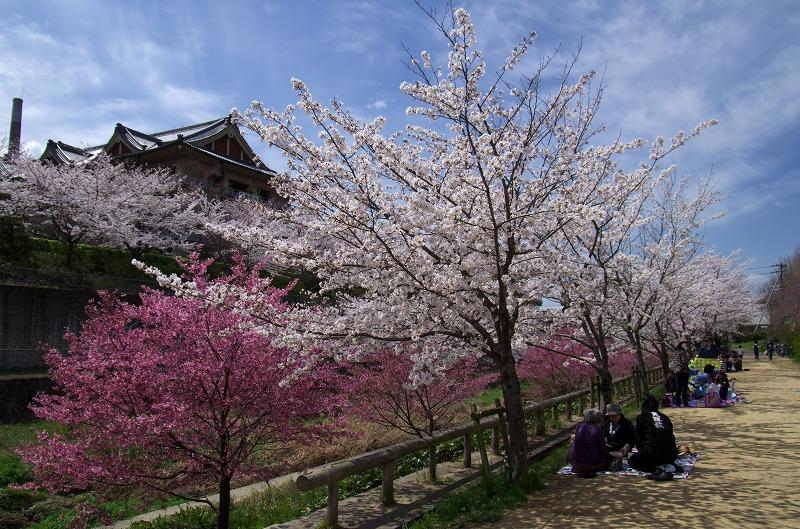 天理教 布留川の桜