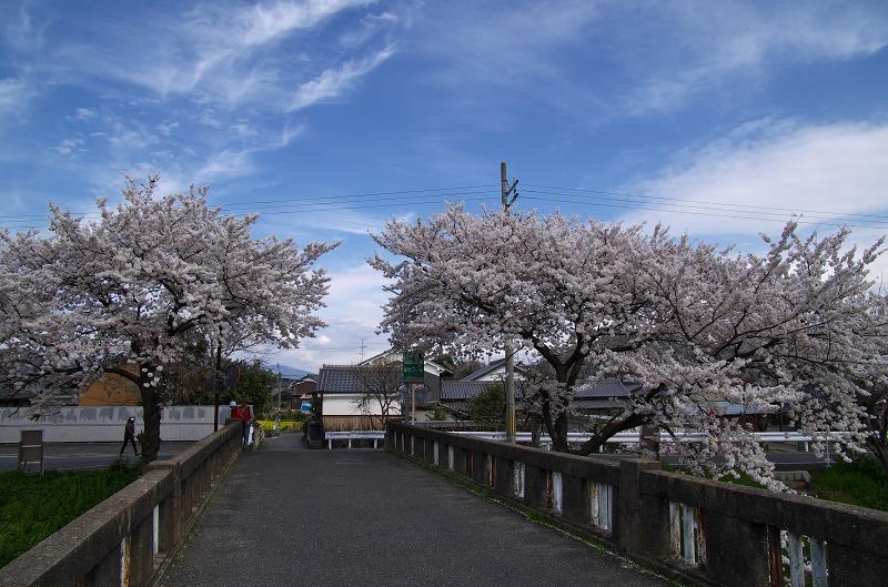 橿原市 曽我川 花曇り 桜