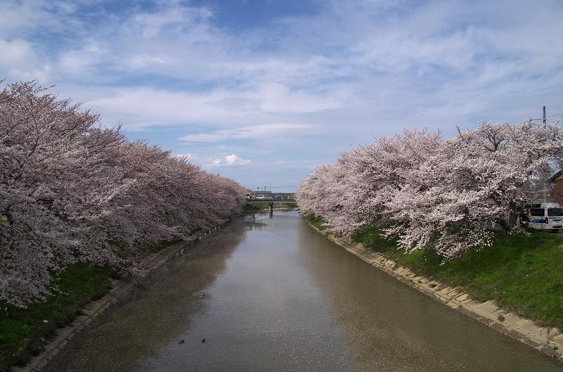 花曇り 曽我川 桜