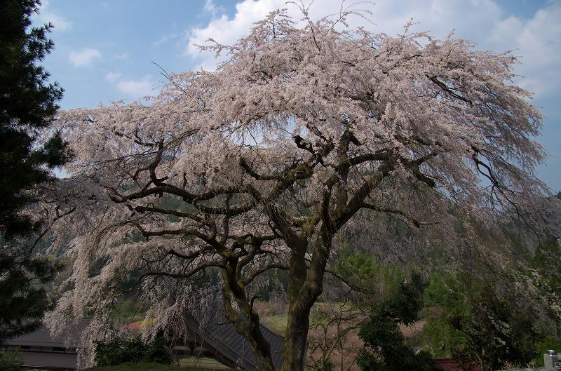 貝原・善徳寺裏のしだれ桜