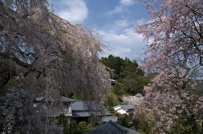 吉野 性瀧寺 しだれ桜