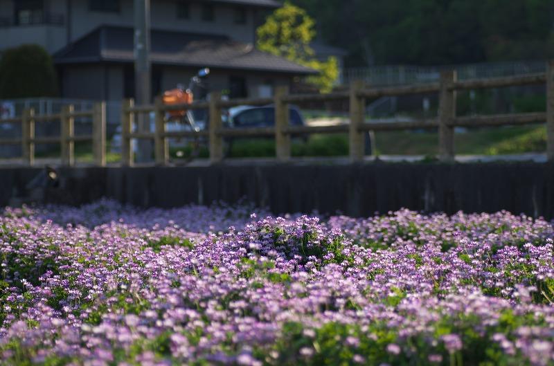 島本町 桜井レンゲの里