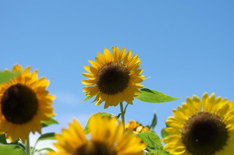あわじ花さじき 夏 ひまわり