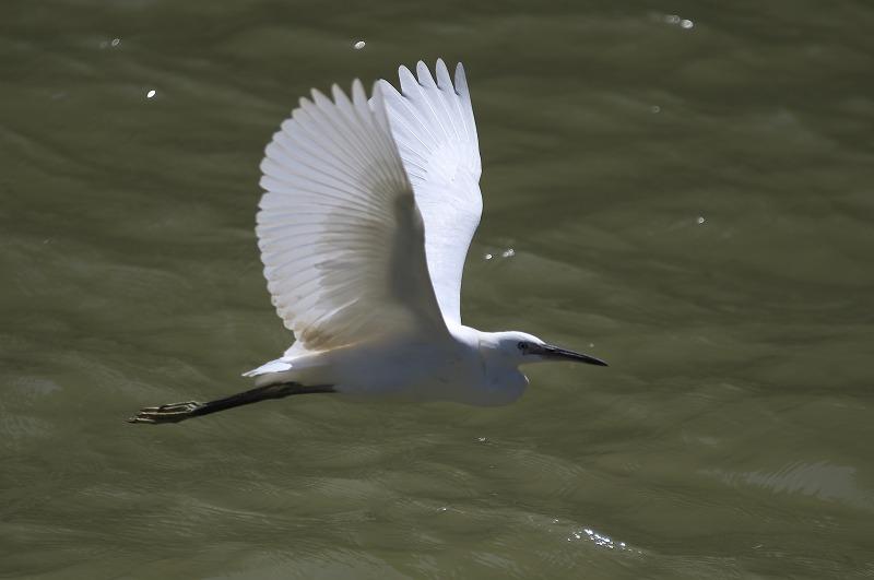 中之島公園 白鷺