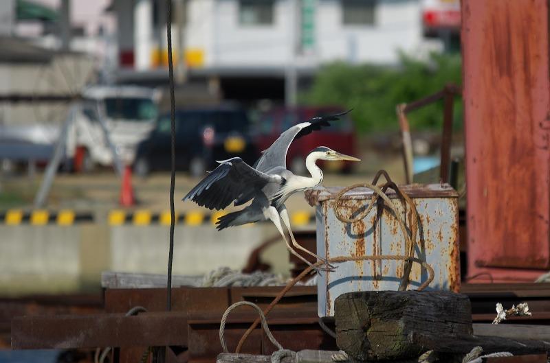 富島漁港 アオサギ