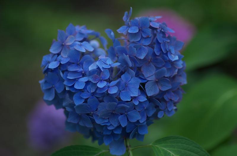 三室戸寺 紫陽花 ハート形のあじさい