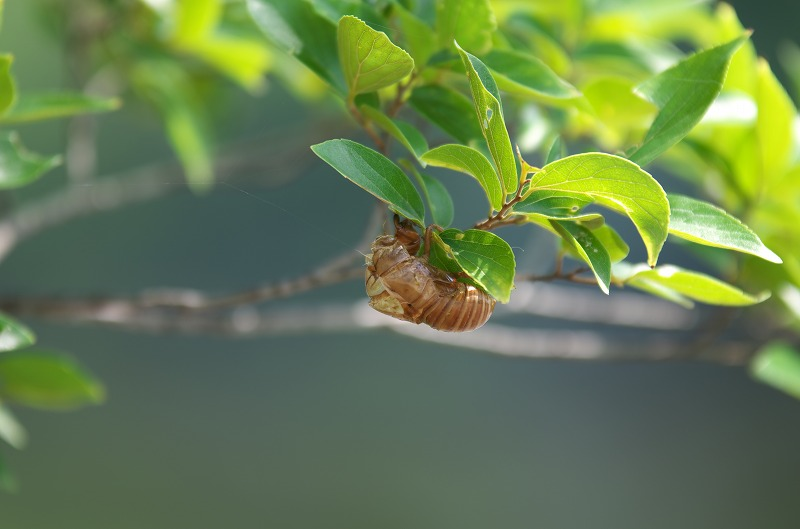 大泉緑地 蝉の抜け殻