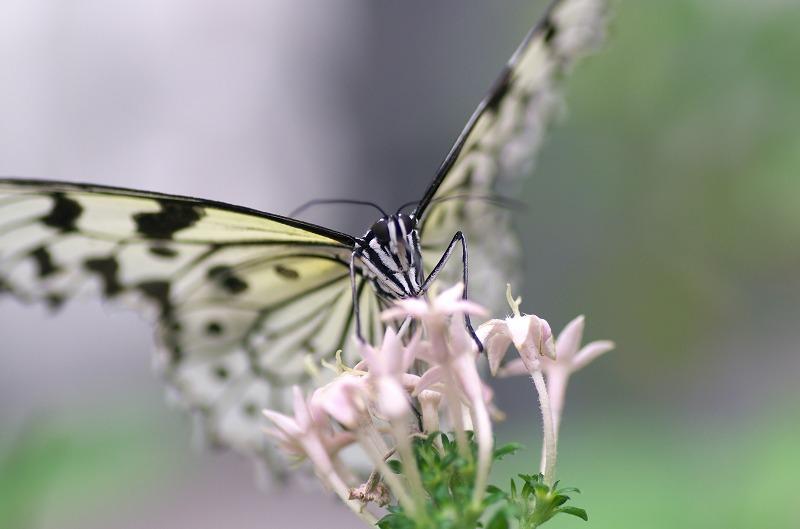 橿原市昆虫館 温室の蝶々