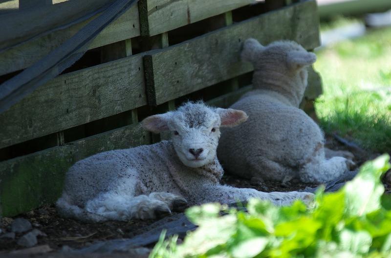 ピックランドマキノ 子羊