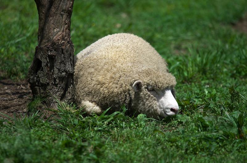 ピックランドマキノ 羊