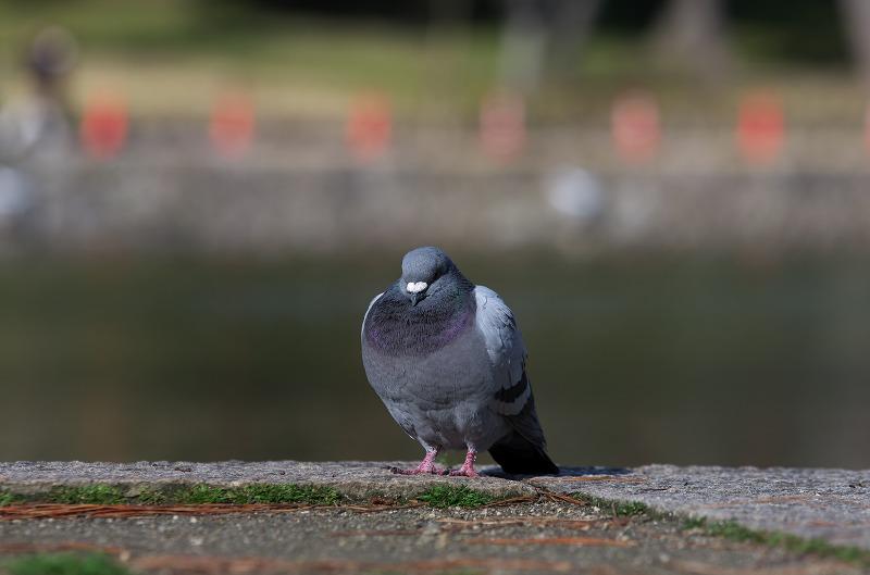 ならまち 猿沢池 鳩
