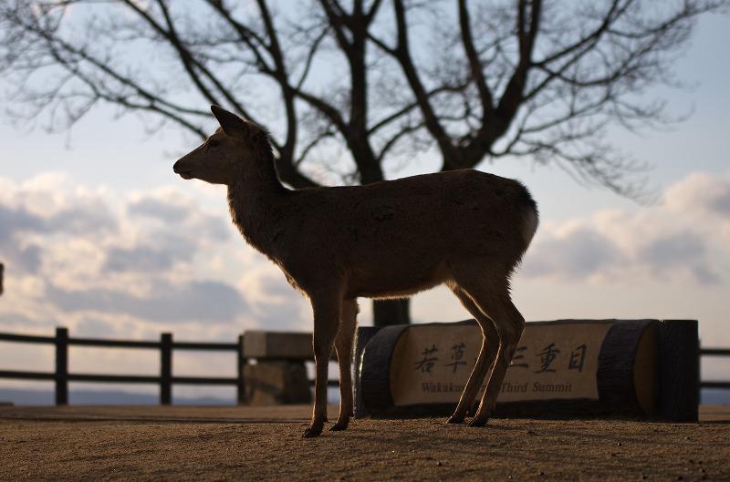 奈良 若草山 鹿 2014