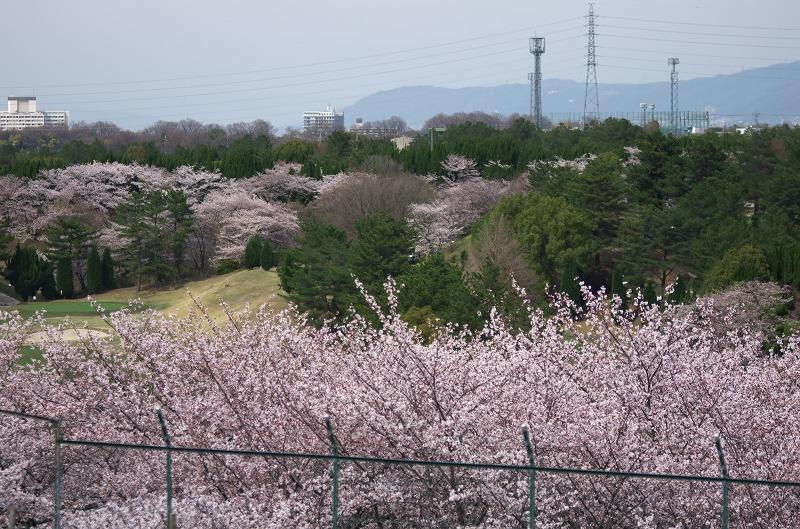 聖丘カントリー倶楽部 桜