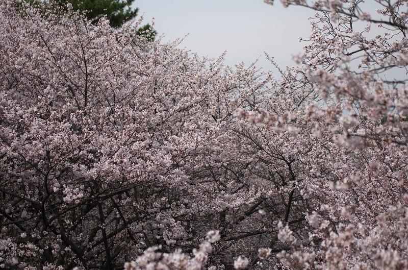 光丘カントリー倶楽部 桜