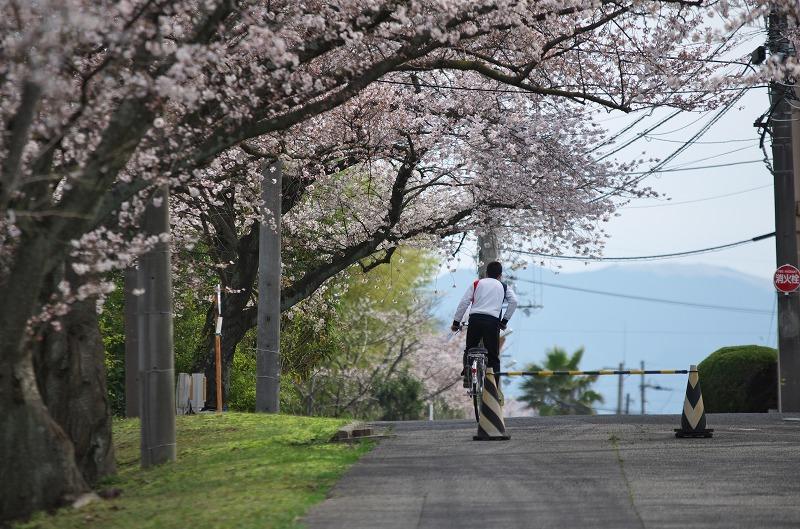 富田林 府道35号 桜