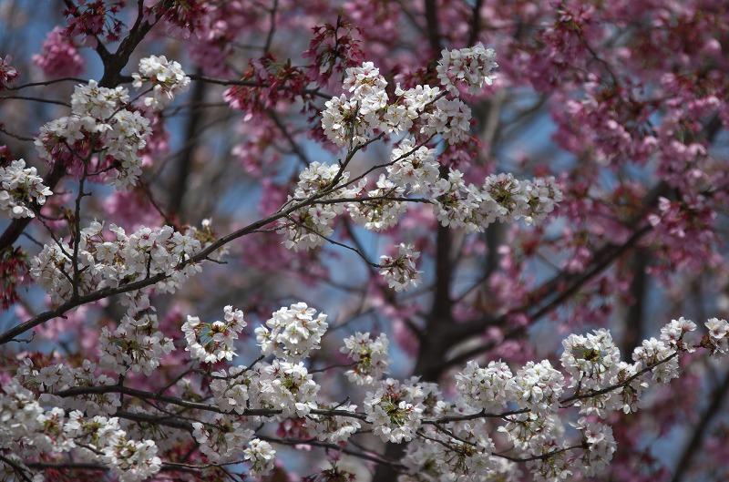 天理教東筋と寮周辺の桜