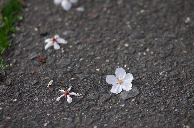 冥應寺 弁天宗 弁天さん桜のトンネル 2014