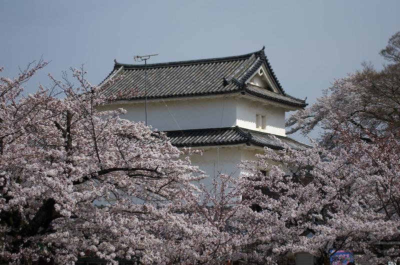彦根城の桜・お花見