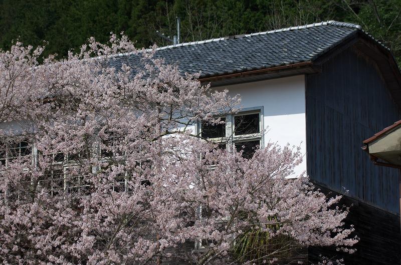 旧丹生小学校(廃校)の桜 2014