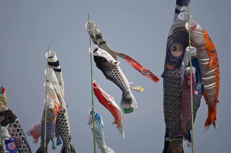 吉野川河川敷に鯉のぼり泳ぐ!