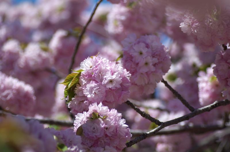 造幣局 桜の通り抜け 2014