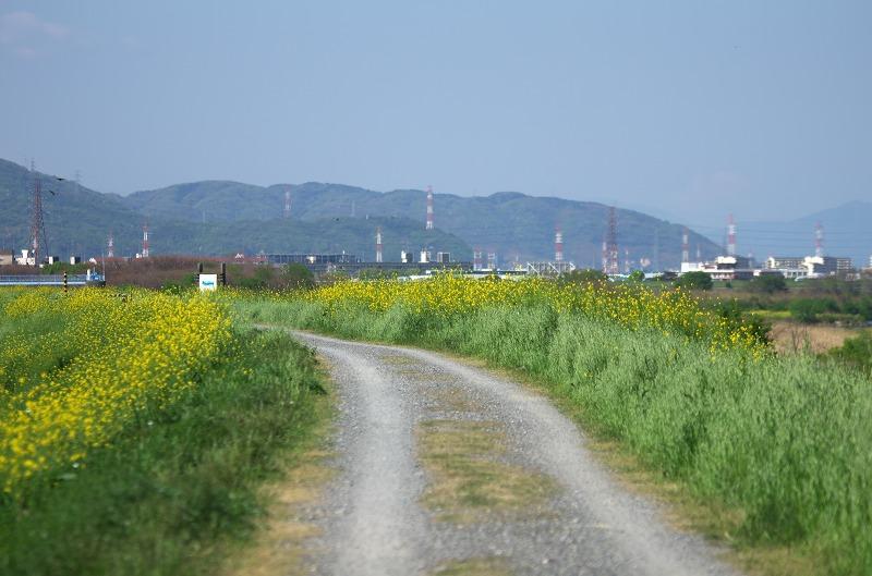 淀川河川公園 三島江地区 菜の花