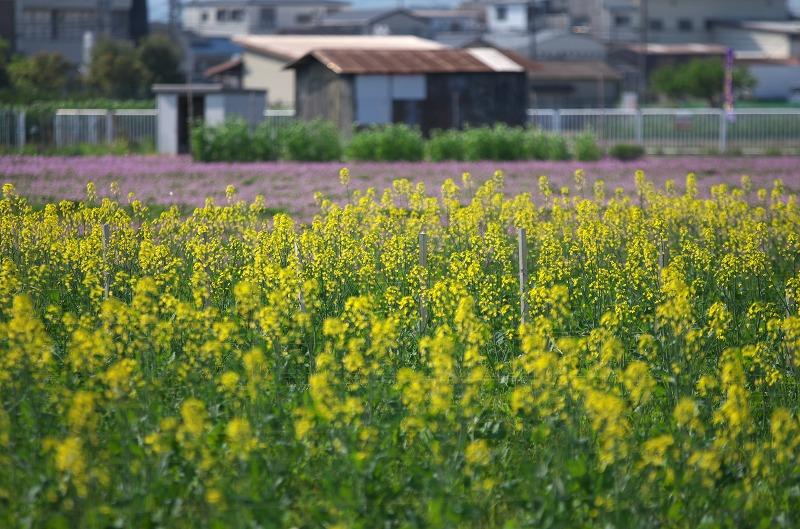 高槻市 三島江 レンゲの里 菜の花