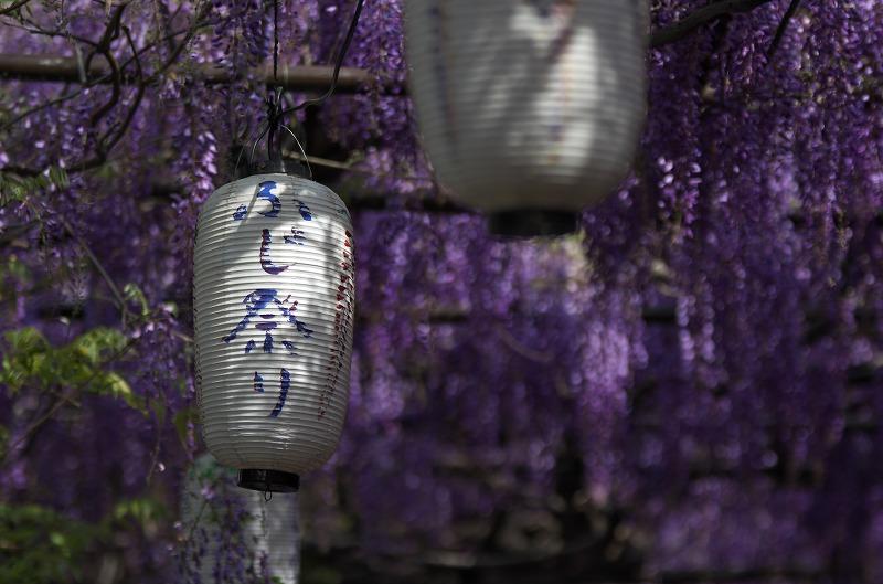 信達宿の野田藤 梶本さんちの藤まつり 2014