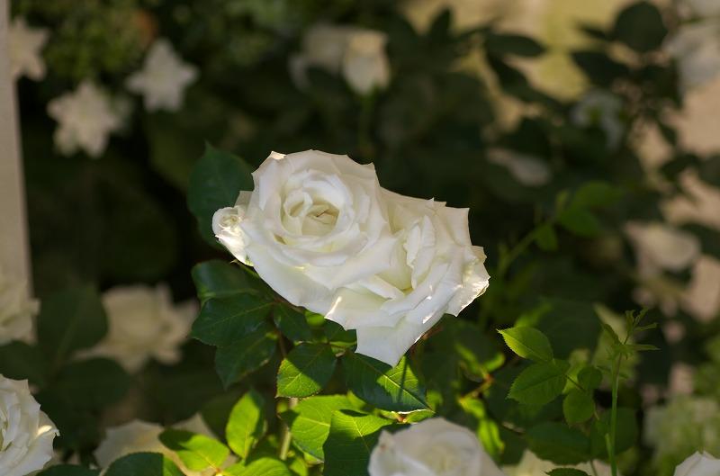 淡路夢舞台薔薇祭2014-シェークスピアと薔薇-