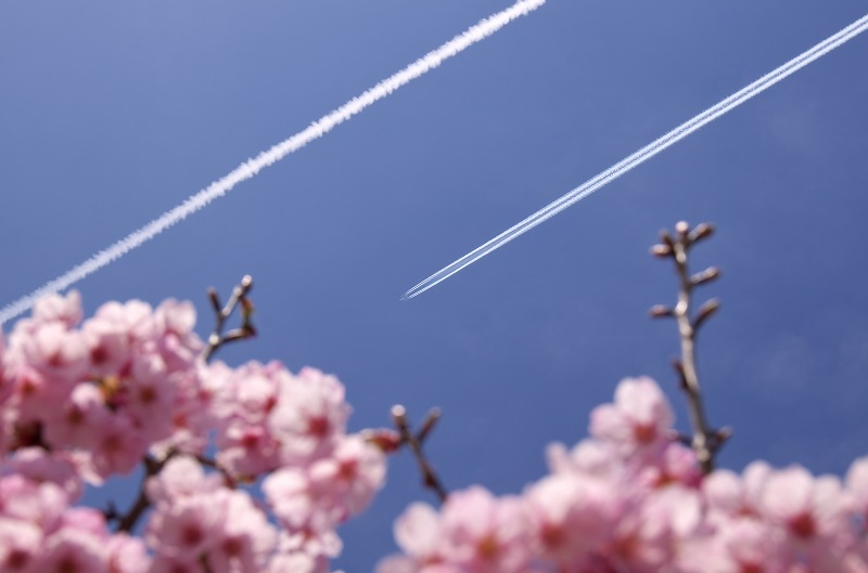 兵庫県立淡路島公園 展望広場の寒緋桜