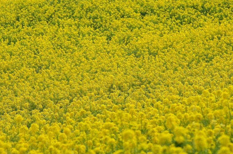 あわじ花さじきの菜の花畑