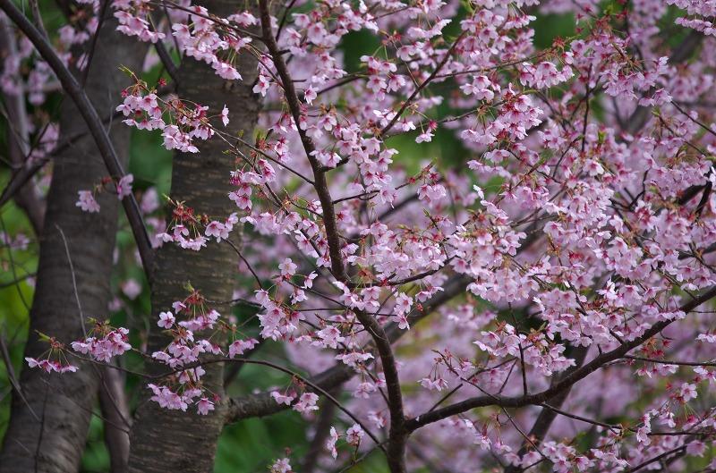 明石海峡公園 春の花 桜