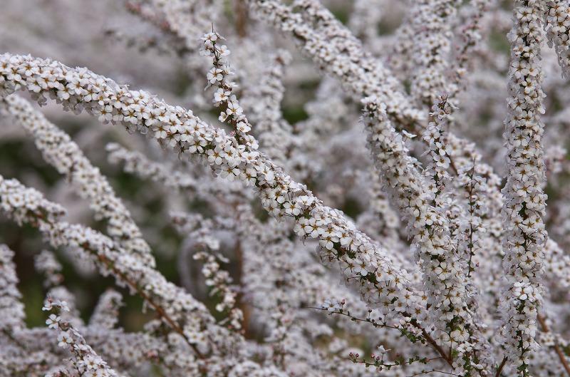 明石海峡公園 春の花 ユキヤナギ