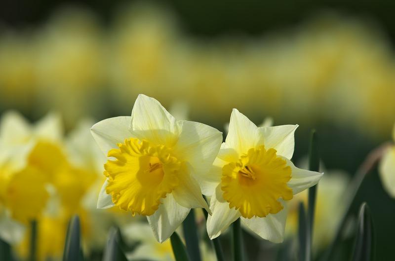 明石海峡公園 春の花 水仙