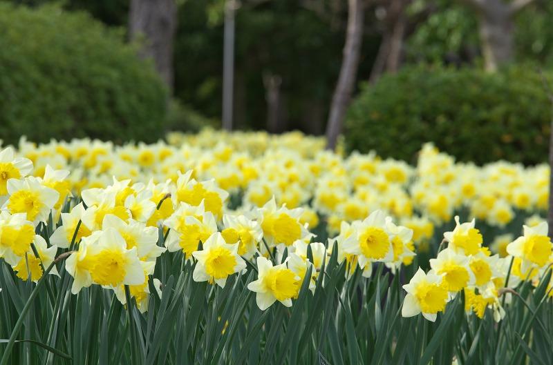 明石海峡公園 春の花 ラッパ水仙