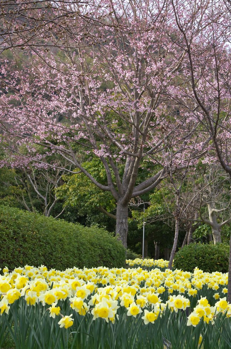 明石海峡公園 春の花 水仙と桜