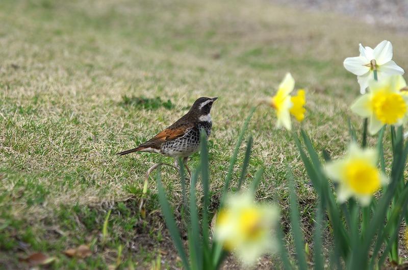 明石海峡公園 春の花 水仙と野鳥