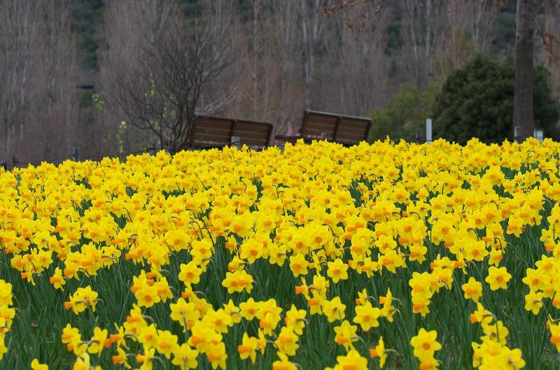 明石海峡公園 春の花 黄色い水仙