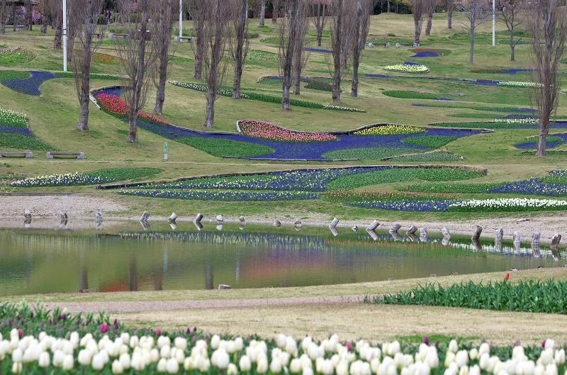 明石海峡公園 春の花 チューリップ