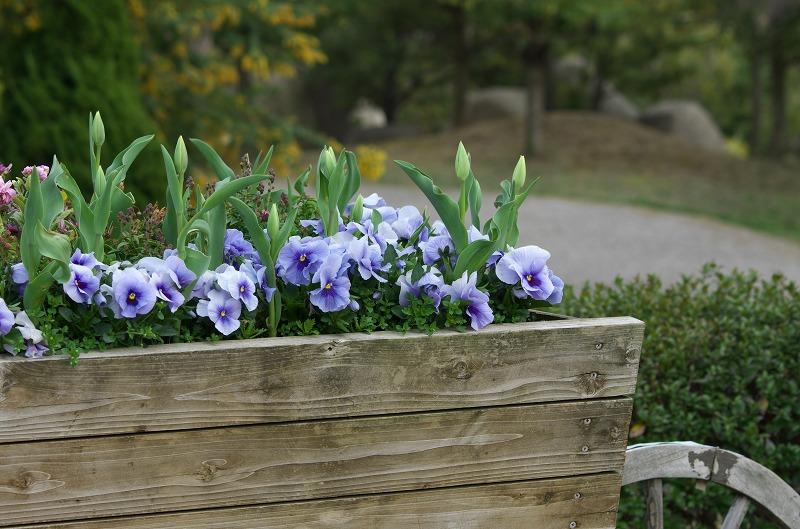 明石海峡公園 春の花 パンジー