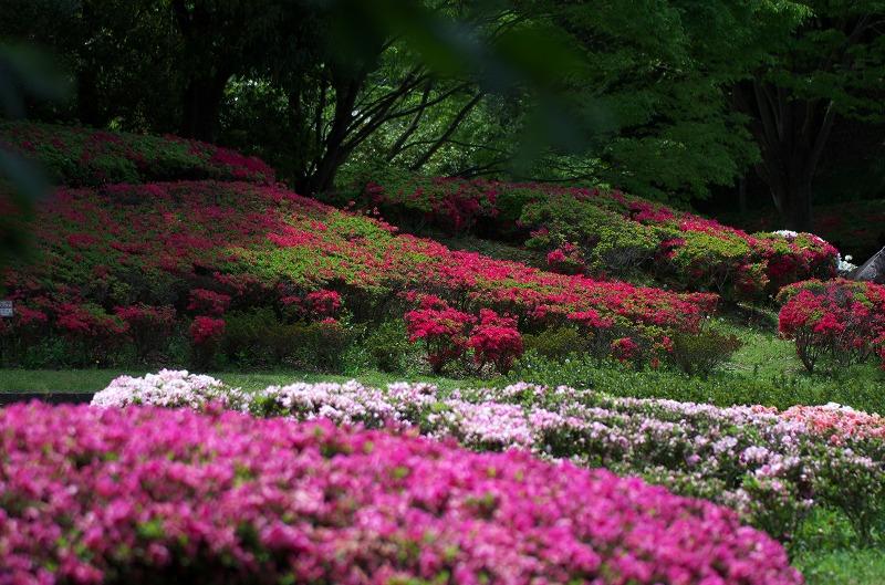 富田林市 錦織公園 つつじの丘 キリシマツツジ