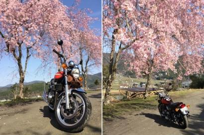 美山桜ツーリング