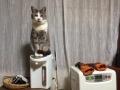 ポットに乗るネコ