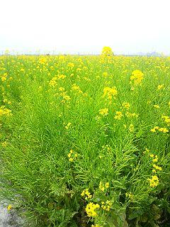 140419笠岡菜の花
