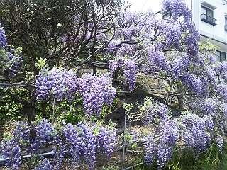 140419藤の花