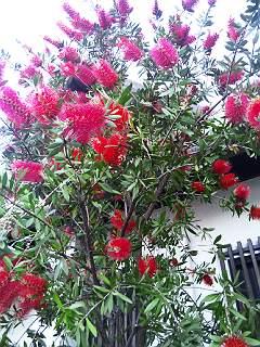 140524ブラシの木赤