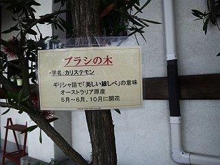 140524札ブラシの木